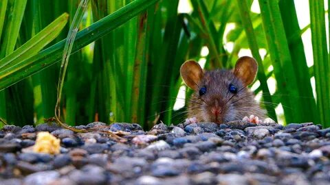 كيف تعيش الفئران