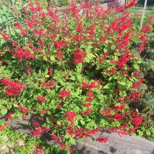 Maraschino cherry salvia
