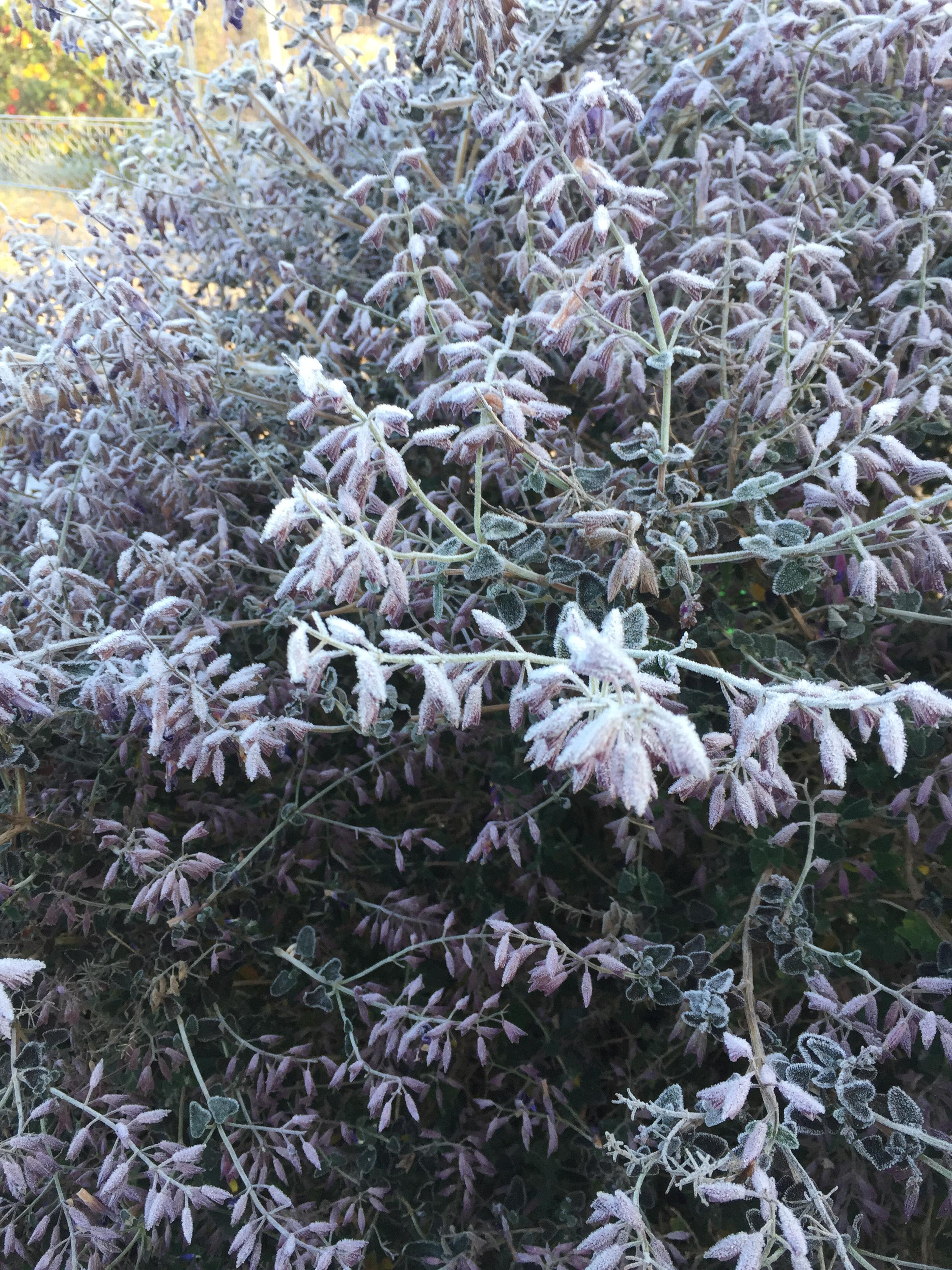 Purple herb gone white