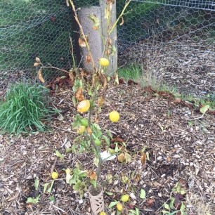 Frost damaged lemon