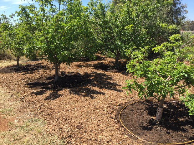 Old orchard cleaned and composted
