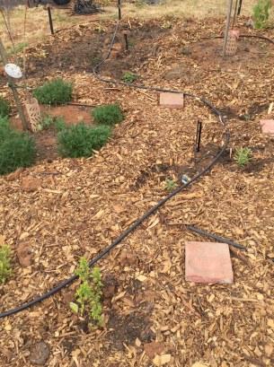 Irrigation of herbs