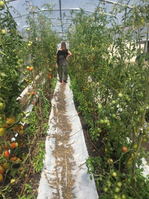 Tomato tunnel at Hobart City Farm