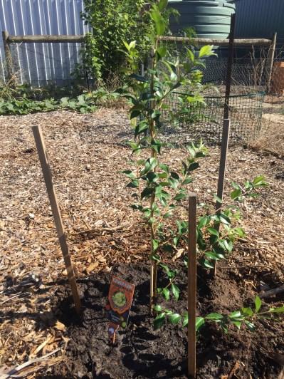 Bush - cinnamon myrtle
