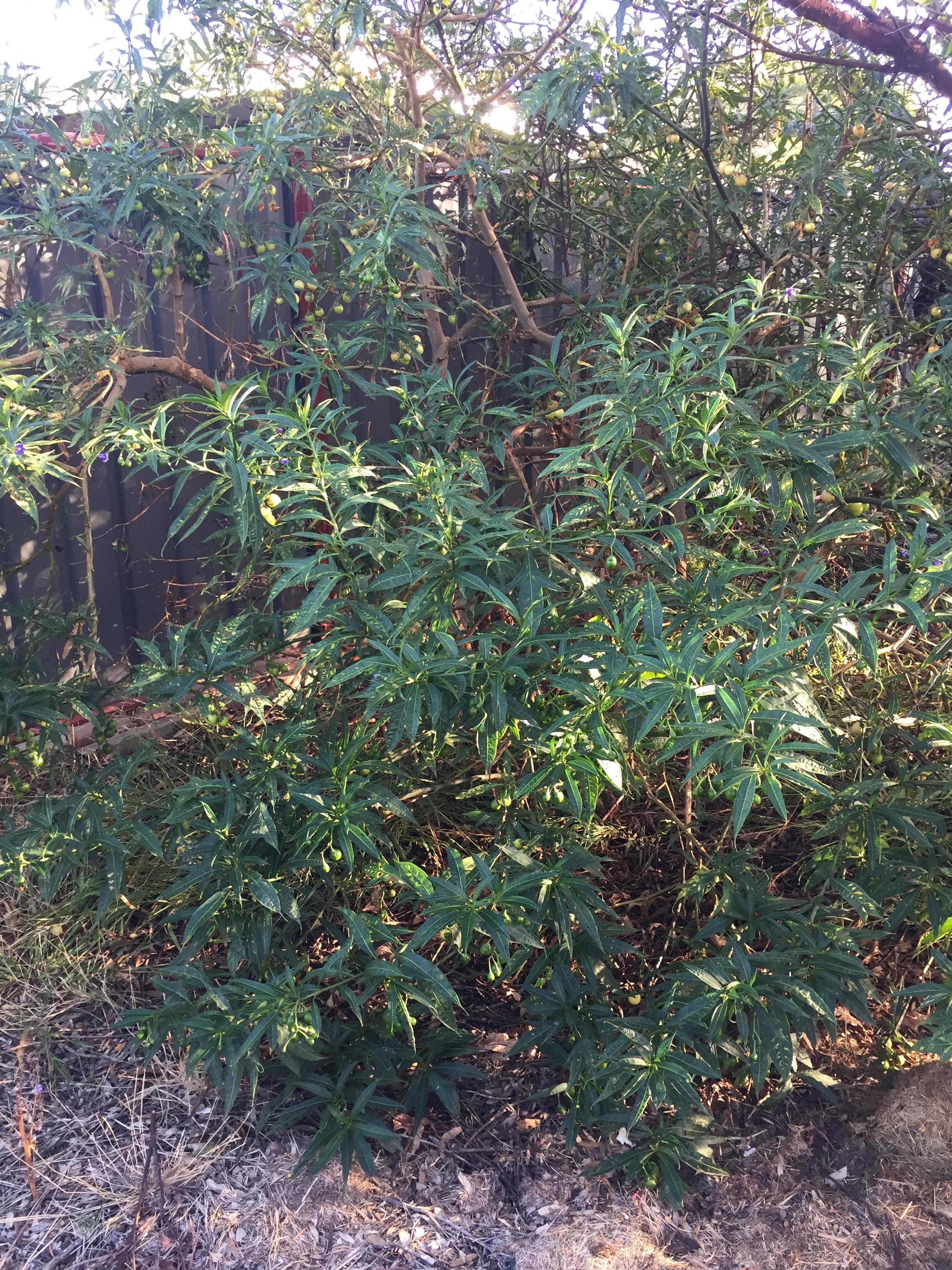 30 KANGAROO APPLE DATURA SEEDS Solanum laciniatum