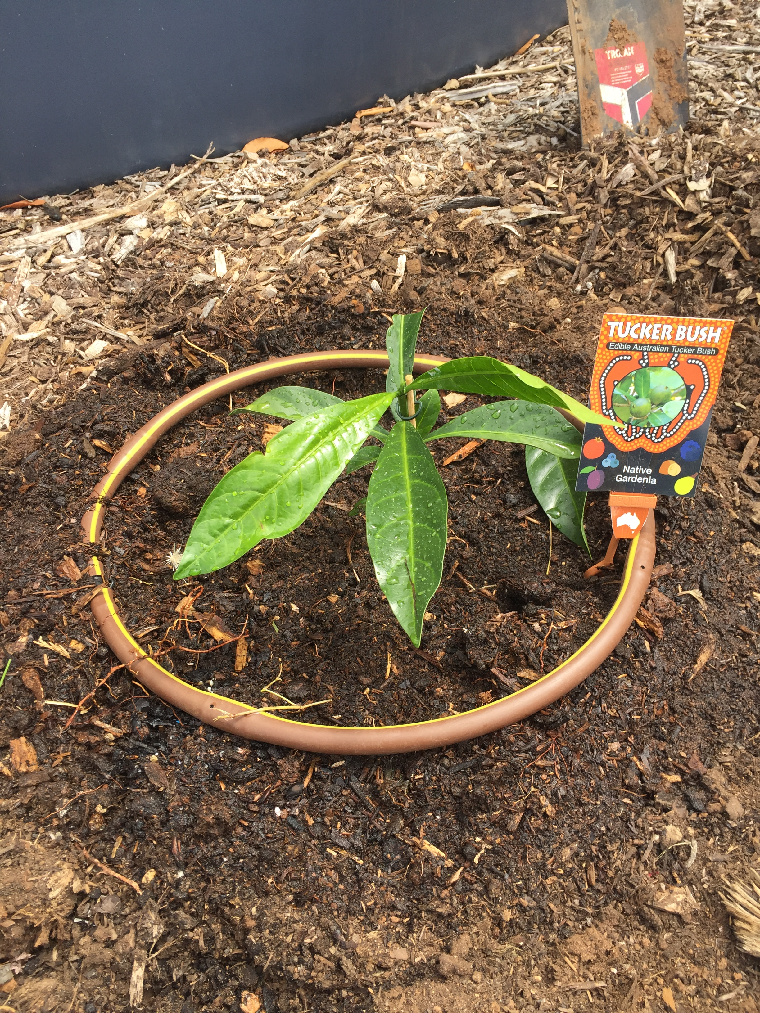 Bush – native gardenia