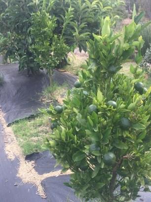 fall - citrus