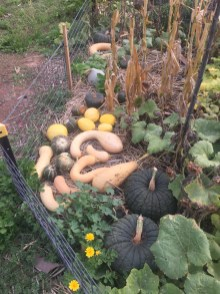 fall - pumpkin harvest