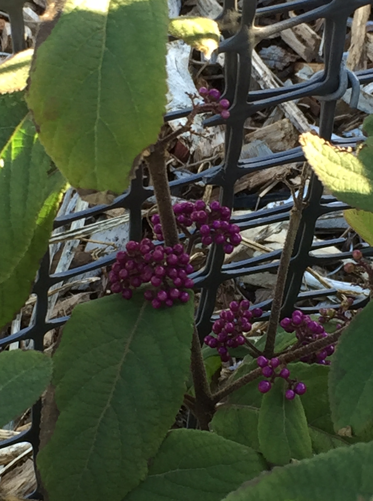 fall – beautyberry 2