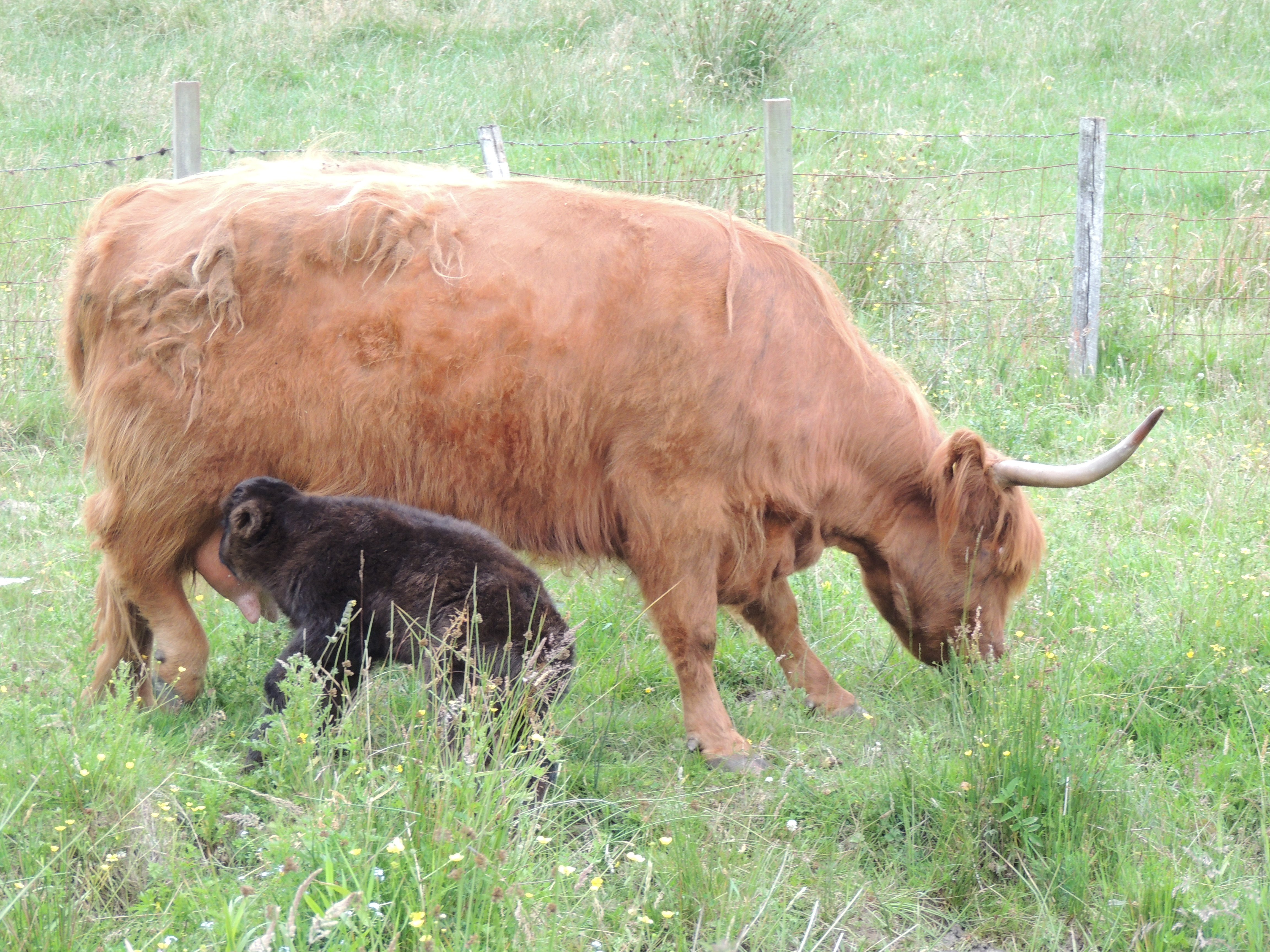 Clyde – coo and calf