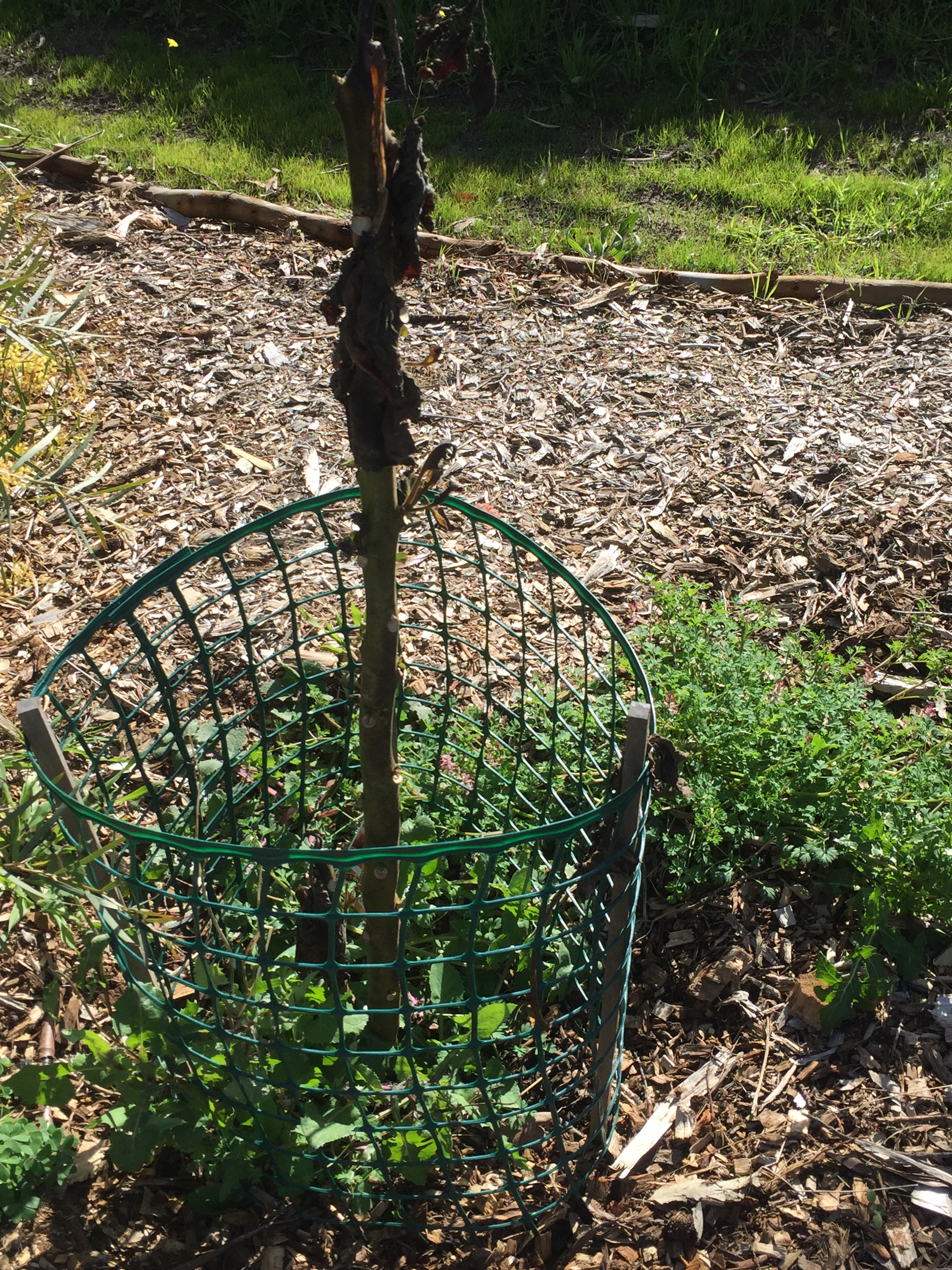 Grind – tomato tree frost damage