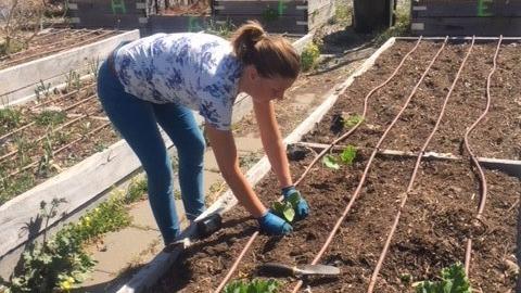 Asparagus and rhubarb planting