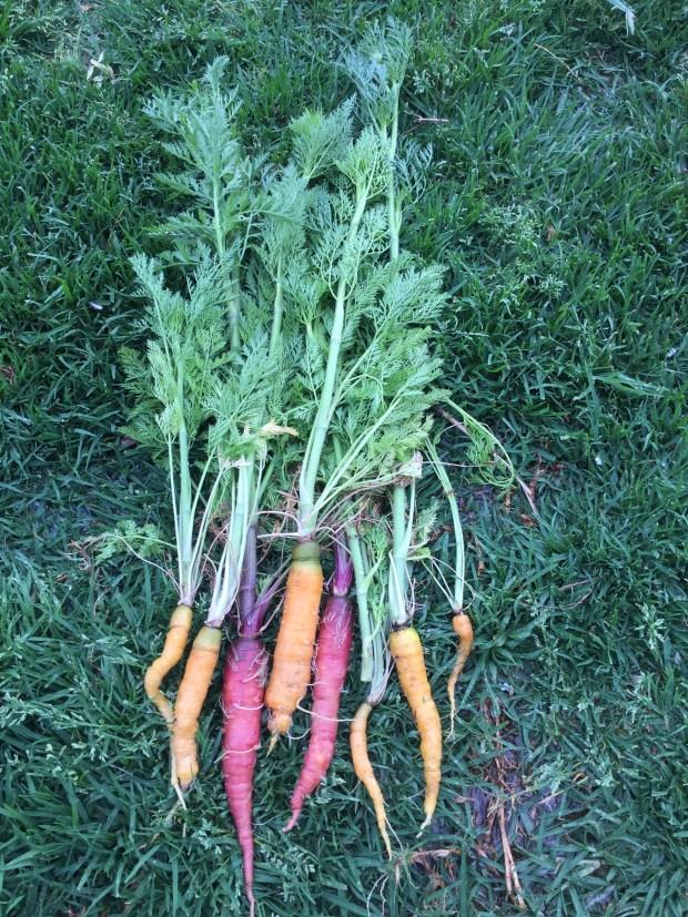 Carrots - harvest