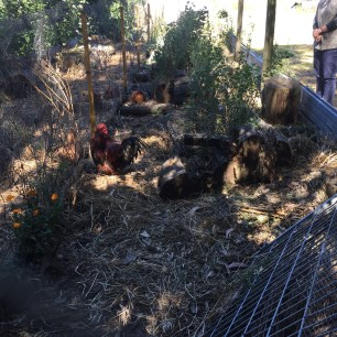 Forest garden chook run