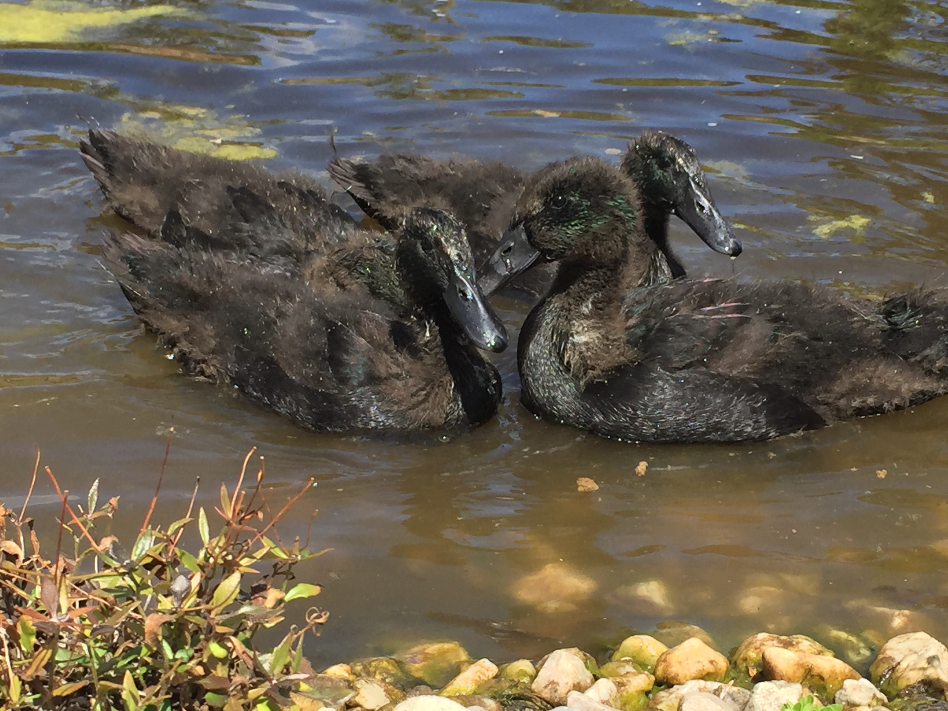 Free – Duck swim