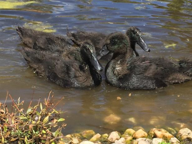 Free - Duck swim