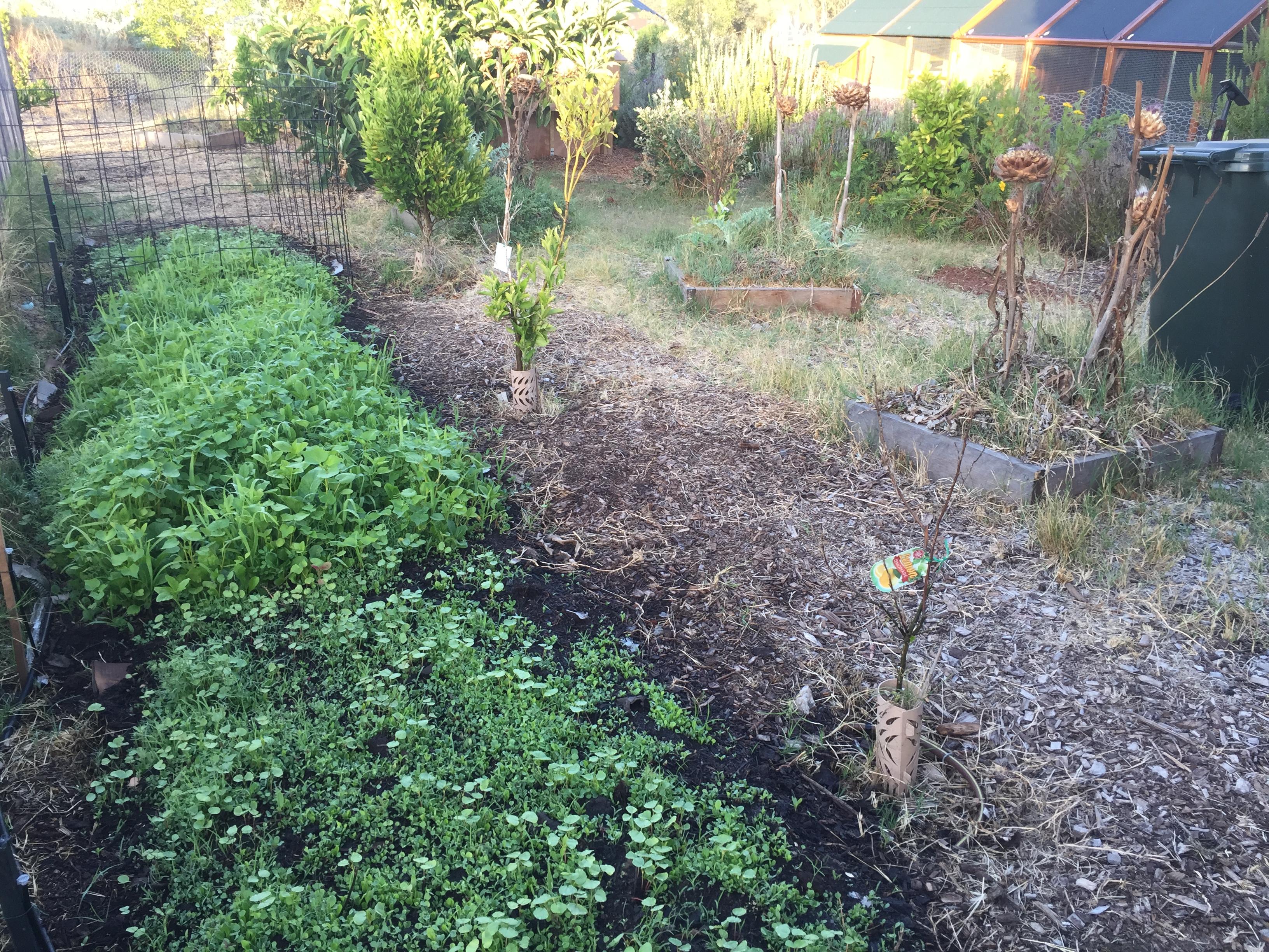 Scoop – chicken greens