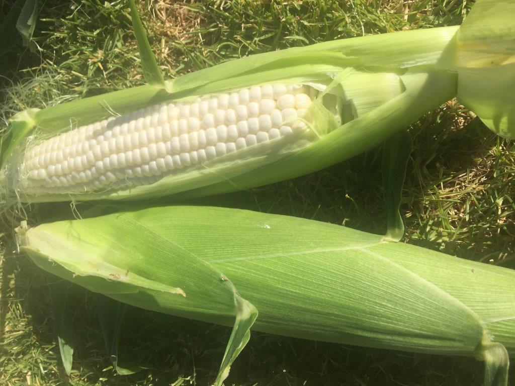 Corn – cob