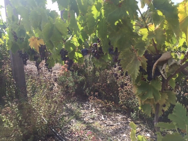 Grapes – fence yield
