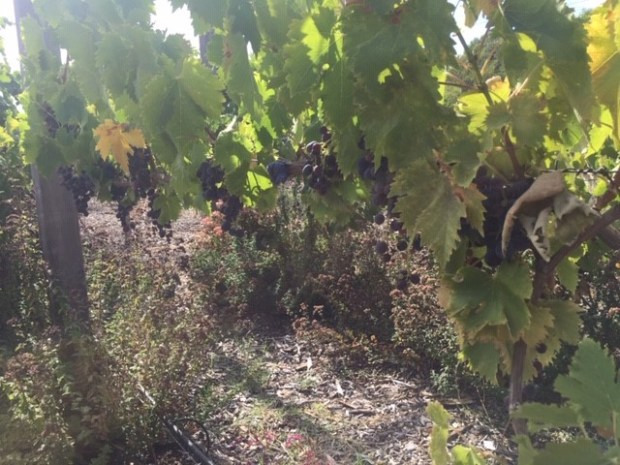 Grapes - fence yield