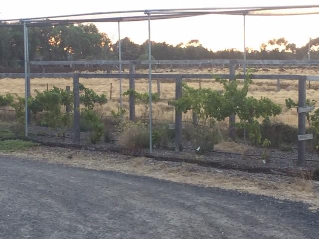 Grapes – transplanted vineyard