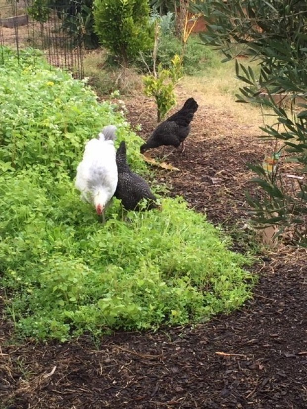 Scoop - chickens in greens