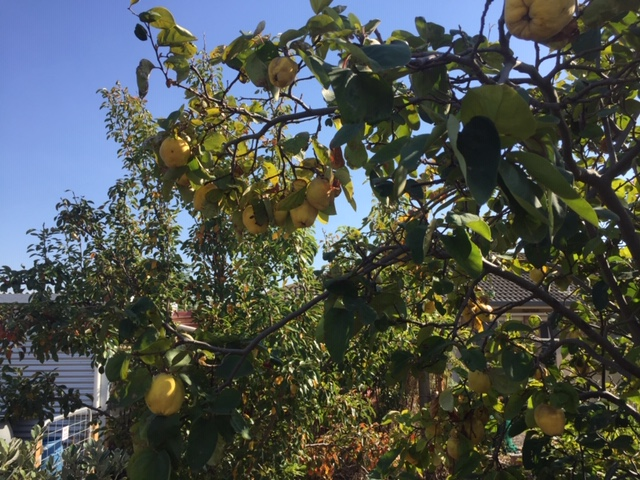 Quince – tree
