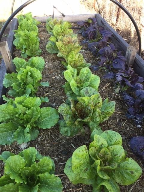 Veg upd – lettuce and pak choy
