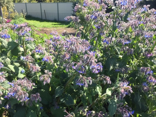Bee food – borage