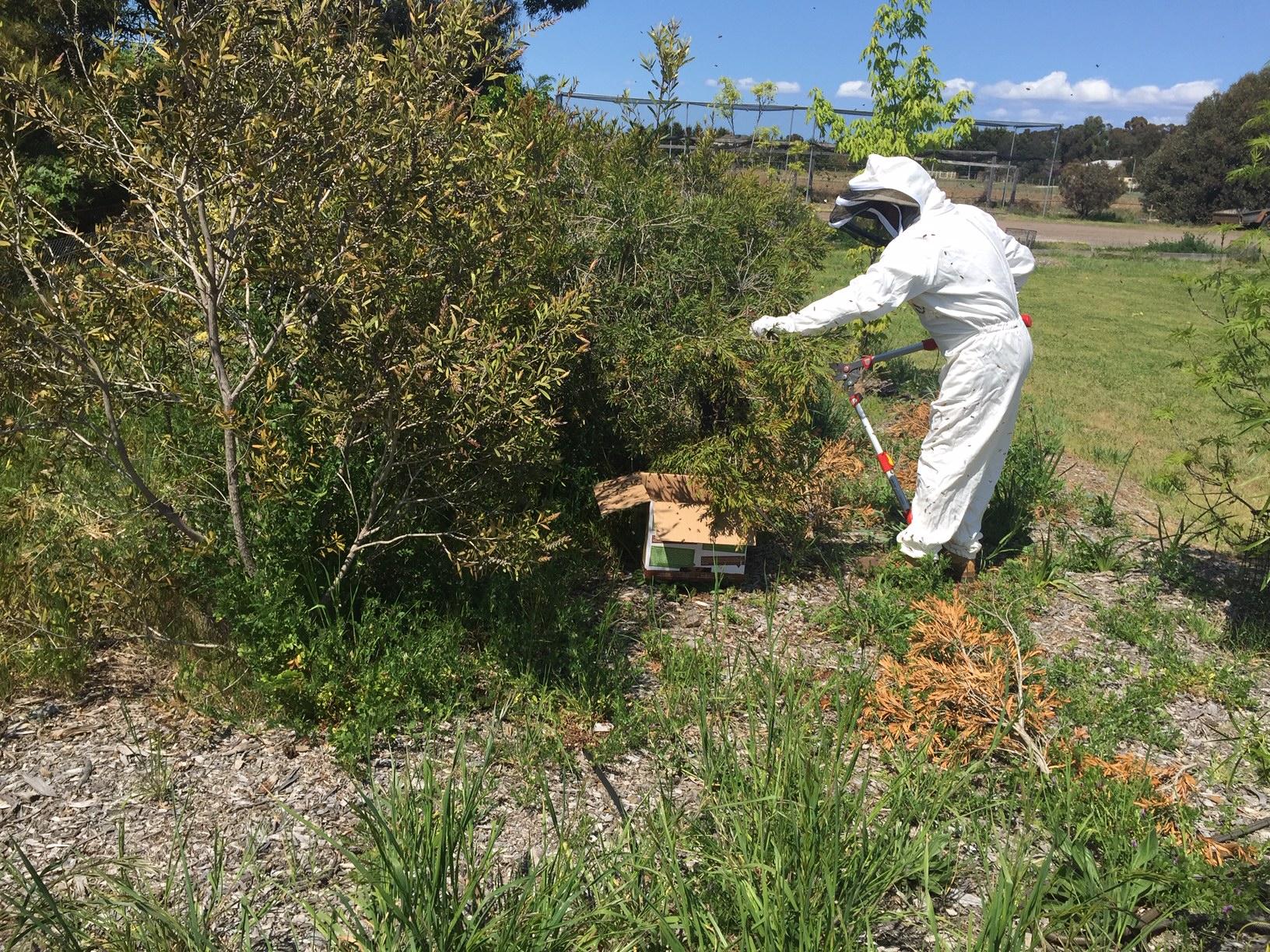 Bees – cutting swarm