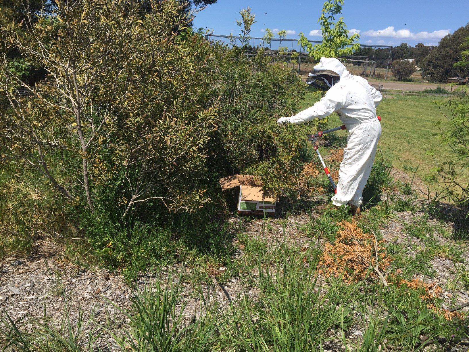 Bees – cutting swarm