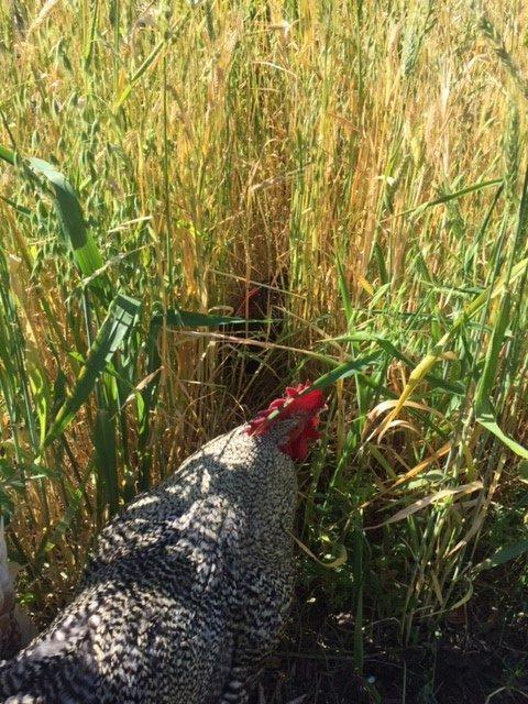 Chooks – Tiara in wheat