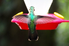 Fluttering in and out of trees and zipping near visitors heads, hummingbirds flap their wings between 60 and 80 times a second. Photo by McGuire McManus
