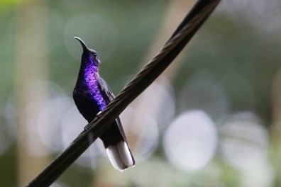 A Violet Sabre Wing shows off its trademark purple coloring outside of the Hummingbird Gallery at the Monteverde Reserve on Tuesday, January 3, 2017. The Sabre Wing is one of the largest breeds of hummingbird.