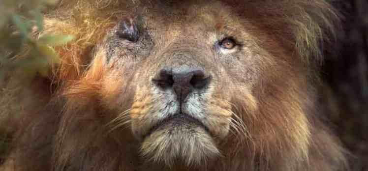 Dünyanın en ünlü aslanı hayatını kaybetti