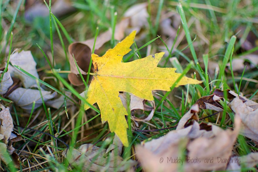 Wordless Wednesday: Yellow Leaf via muddybootsanddiamonds.com