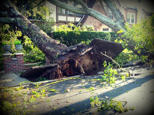 uprootedtree