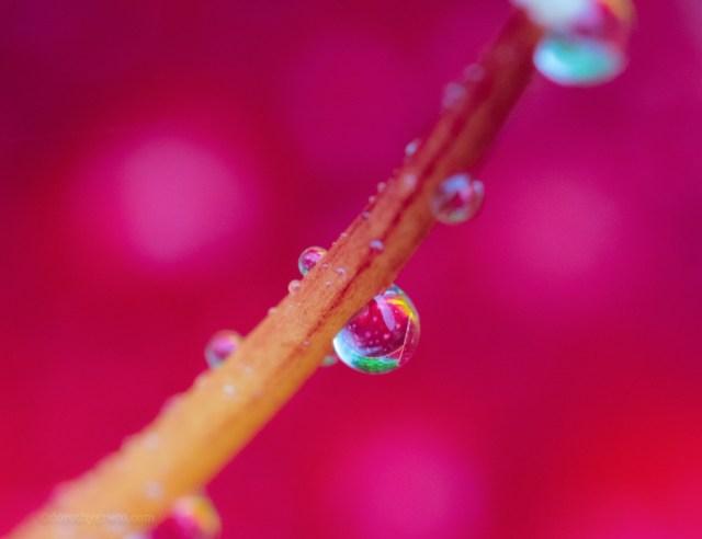 water drop on rose bush
