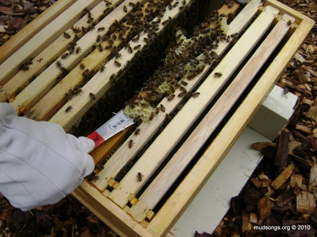 Removing burr comb from the top bars. (July 31, 2010.)