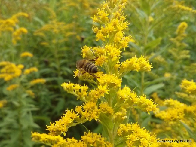Honey bee on Goldenrod in St. John's, Newfoundland. (Sept. 03, 2015.)