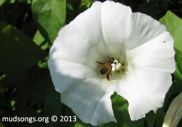 Honey bee on white flower. (Sept. 5, 2011.)