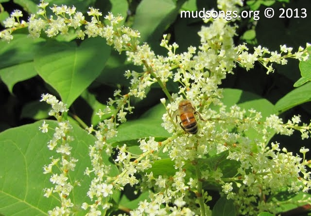 Bee on Japanese Knotweed.  (Sept. 5, 2011.)