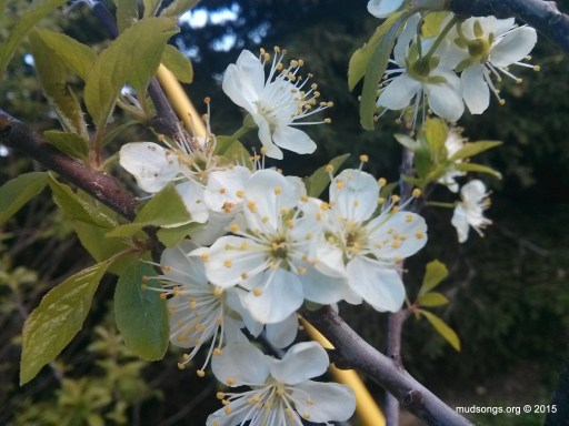 Out of focus cell phone photo of plum blossoms. (June 17, 2015.)