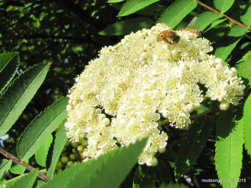 Honey bees in a Dogberry tree (June 27, 2015).