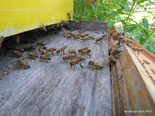 Honey bees eagerly marching back into the hive and scenting the entrance. (August 3, 2015.)