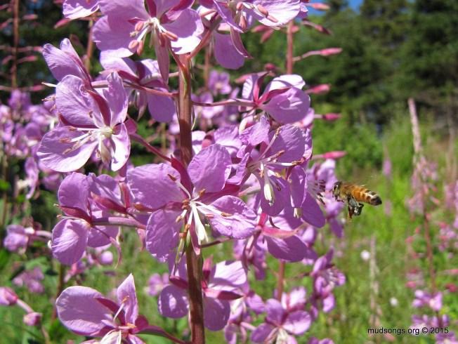 Honey bee on Fireweed in Flatrock, Newfoundland (August 11, 2015.)