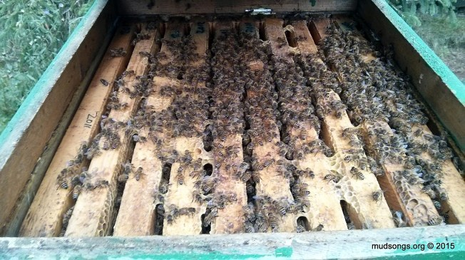 Most of the frames are stuck together with wax and propolis after three months of not being touched by humans. (Oct. 12, 2015.)