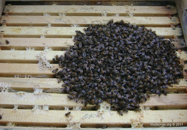 Bees beginning to cluster above the top bars. (Dec. 31, 2011).