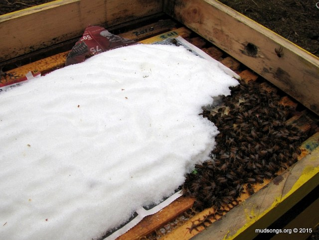 Bees chewing away at the sugar from the front corner of the hive. (Dec. 19, 2015.)