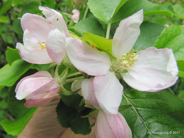 Hard looking crab apple blossom. (June 19, 2011.)